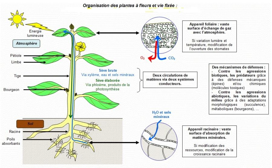 Sch ma bilan organisation focntionnelle de la plante svt for Plante 21 svt