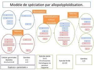 modele de spéciation par alloploidisation