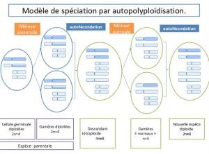 modele de spéciation par autoploidisation