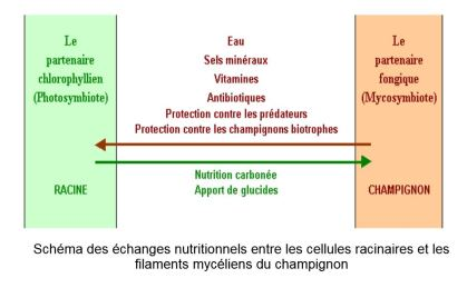 symbiose mychoryse