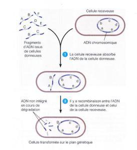 transfert gène horozontaux