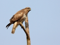 Buse variable Buteo buteo