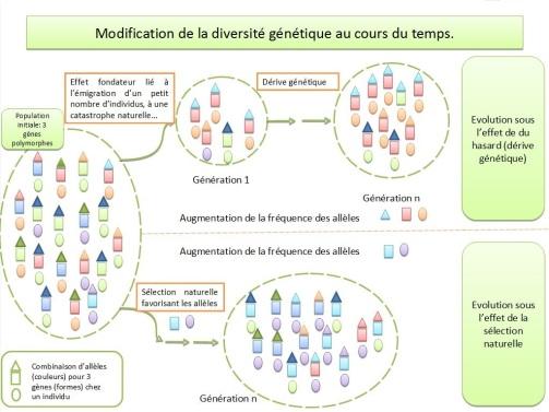 schéma bilan modification diversité génétique
