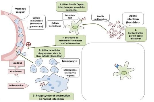 étape 2 de la réaction inflammatoire