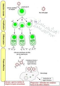 immuno schéma LB