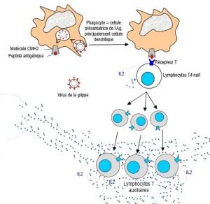 immuno schéma LT4