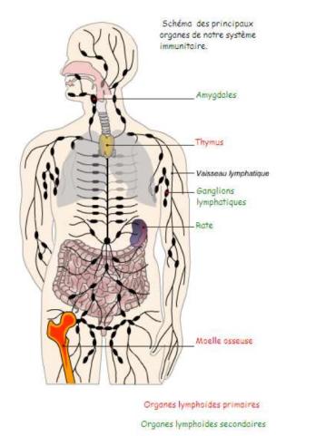 organes lymphoides