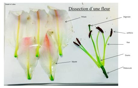Dissection florale