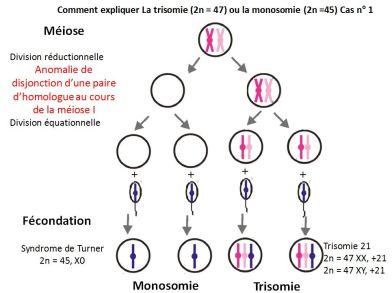 anomalie chromosomique anaphase I