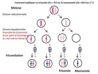 anomalie chromosomique anaphase II