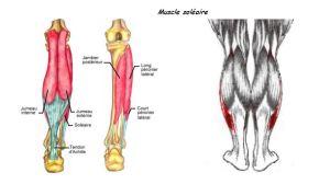 nom des muscles