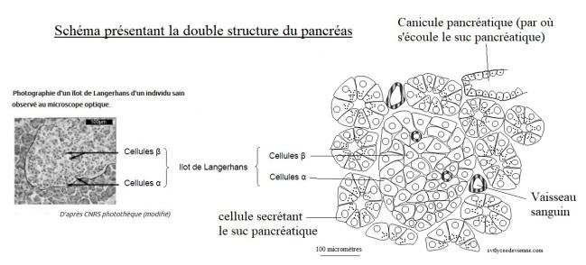 schéma présentant la double structure du pancréas